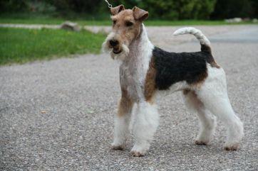 ruhåret fox terrier hvalpe til salg